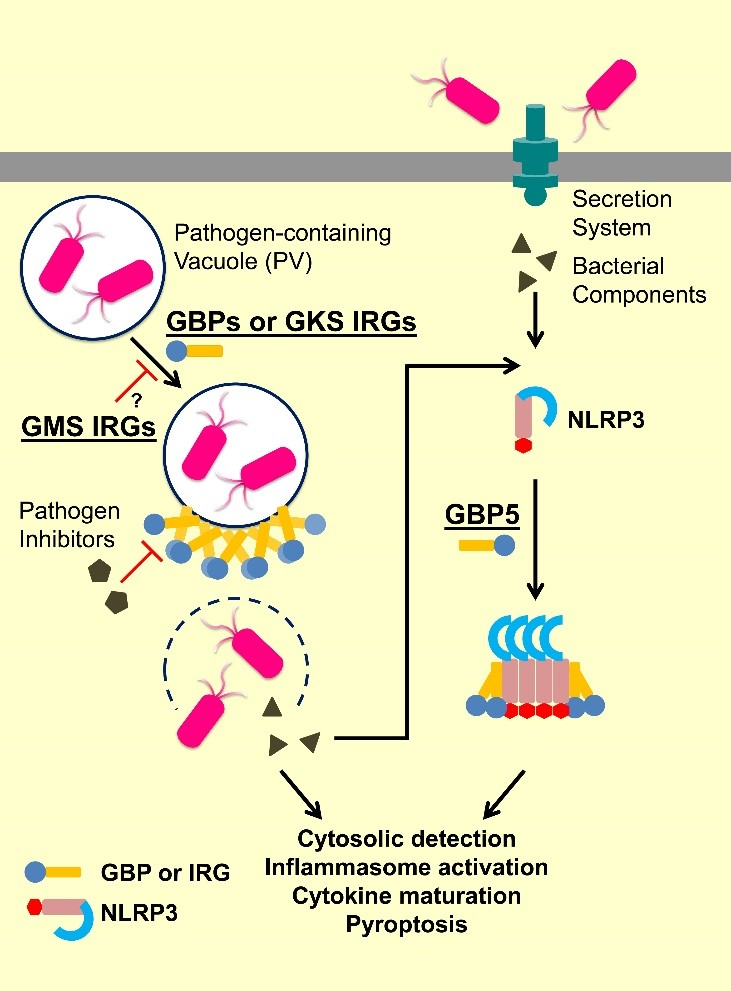 IFN-inducible GTPases in inflammation