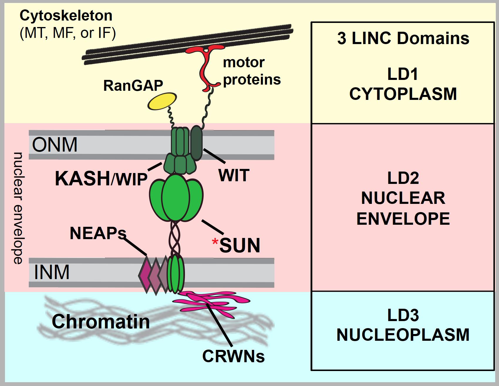 Working model of plant LINC complex (courtesy Hardeep Gumber & Allison Jevitt)