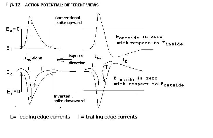 essay on action potential