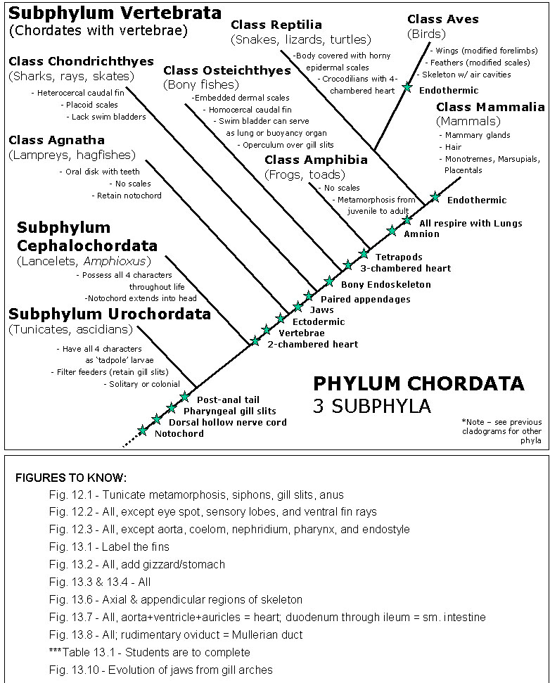 Phylum Chordata Animals List Chordata; Chordates